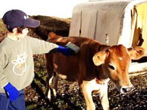 全日制小学部1~3年「ファームステイ」子牛の世話