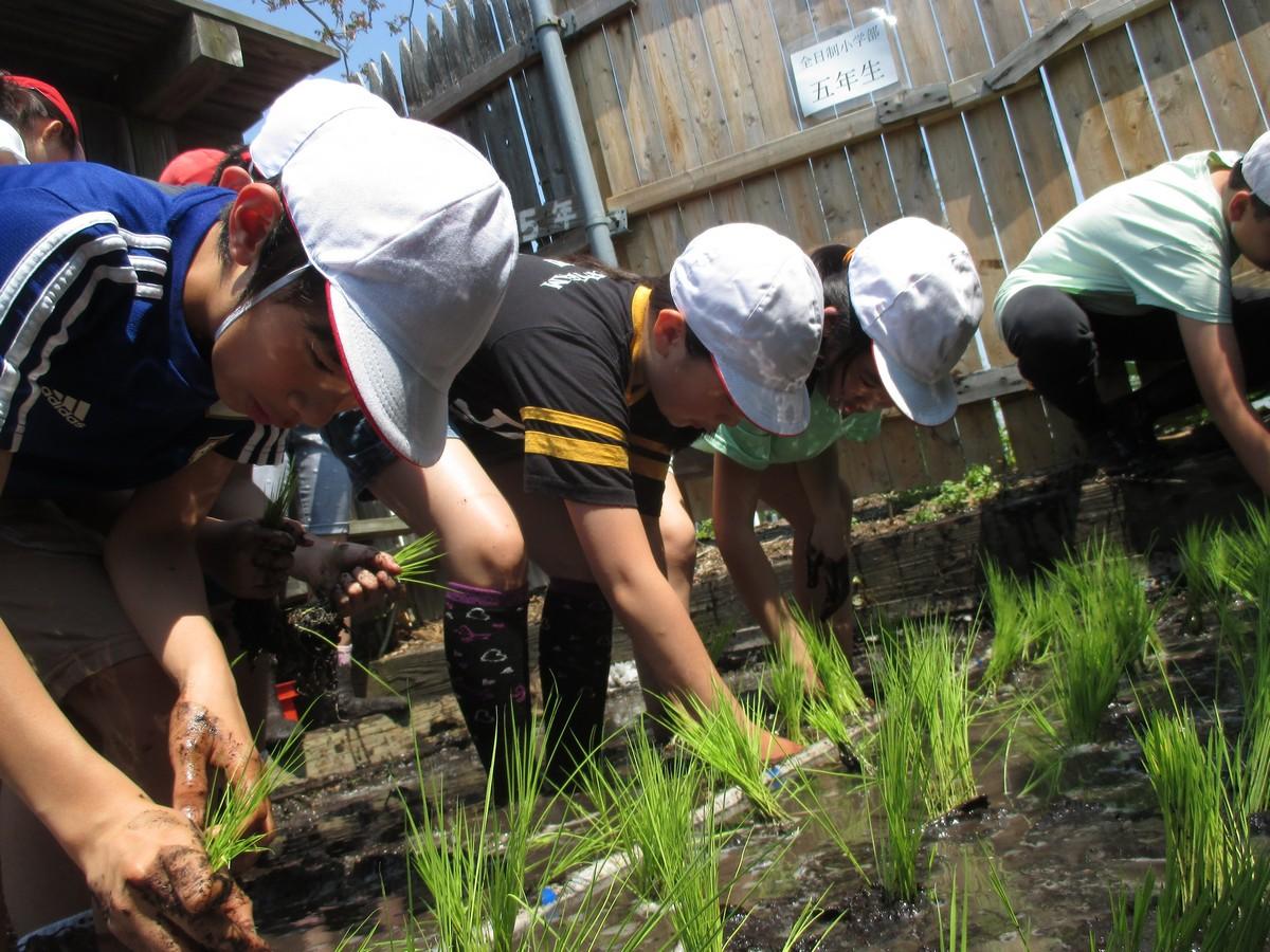 学級園の田んぼで稲作!